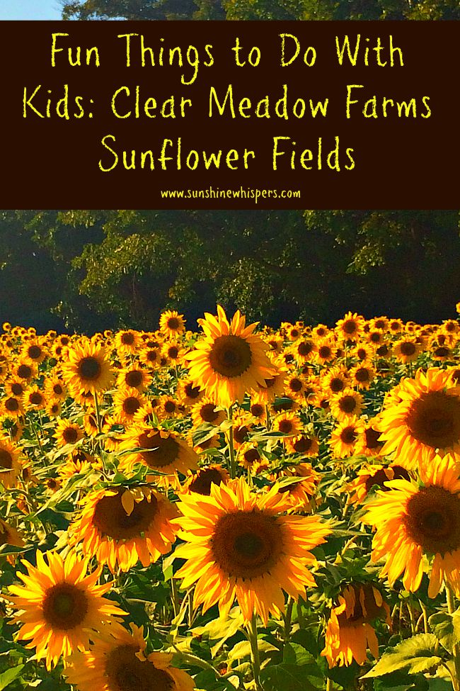clear meadow farms sunflower fields