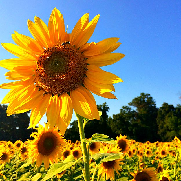 Clear Meadow Farms Sunflower Fields: the BEST Sunflower Fields in Maryland