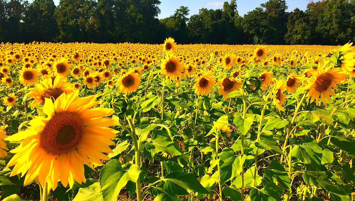 sunflower fields 2 by - photo #43