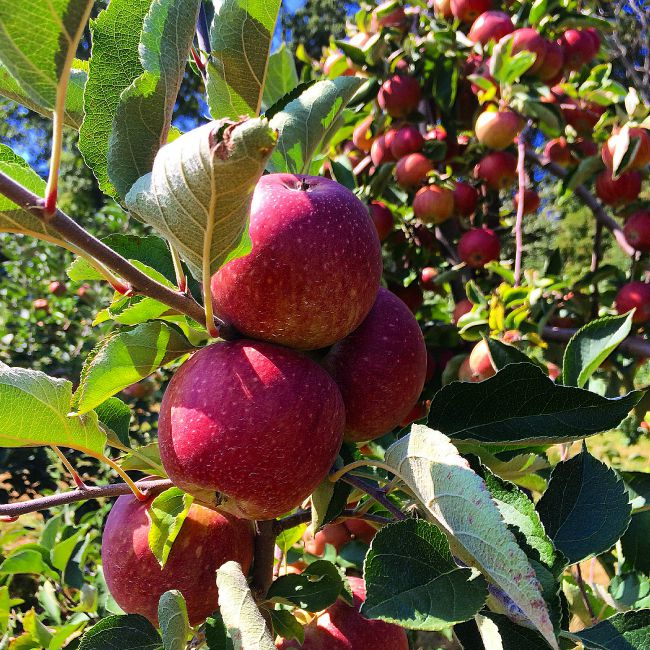 Apple Picking at Baugher's: Fun Things to Do With Kids in Maryland