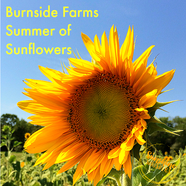 5 Reasons to Get Your Dose of Happy From Burnside Farms Summer of Sunflowers