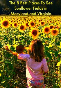 sunflower fields maryland