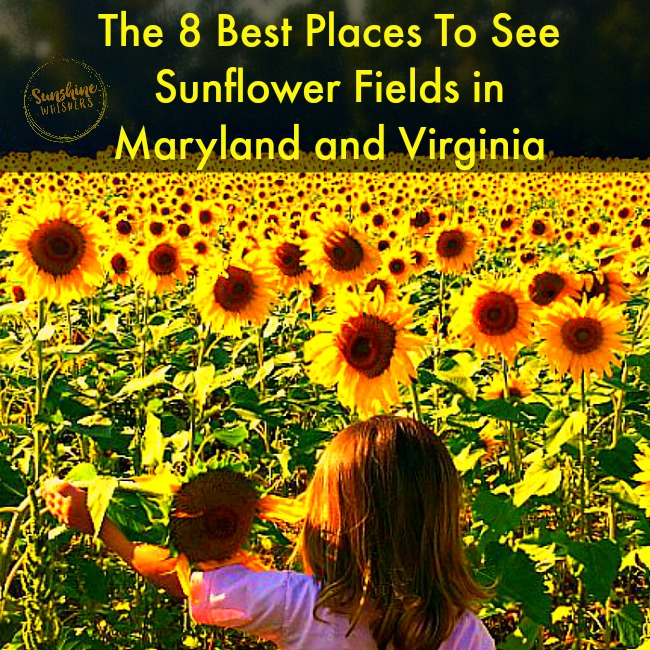 The 8 Best Places to see Sunflower Fields in Maryland and Northern Virginia