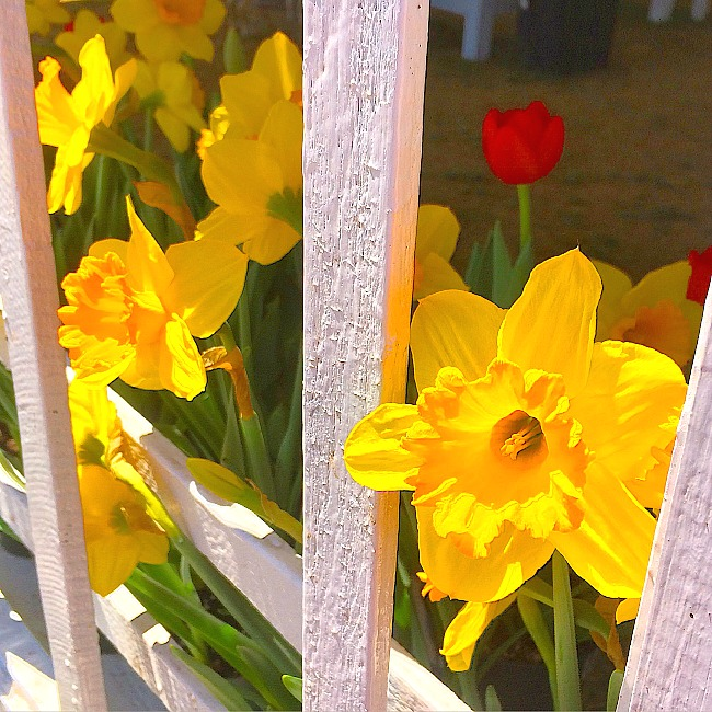 daffodils in maryland, dc, and virginia