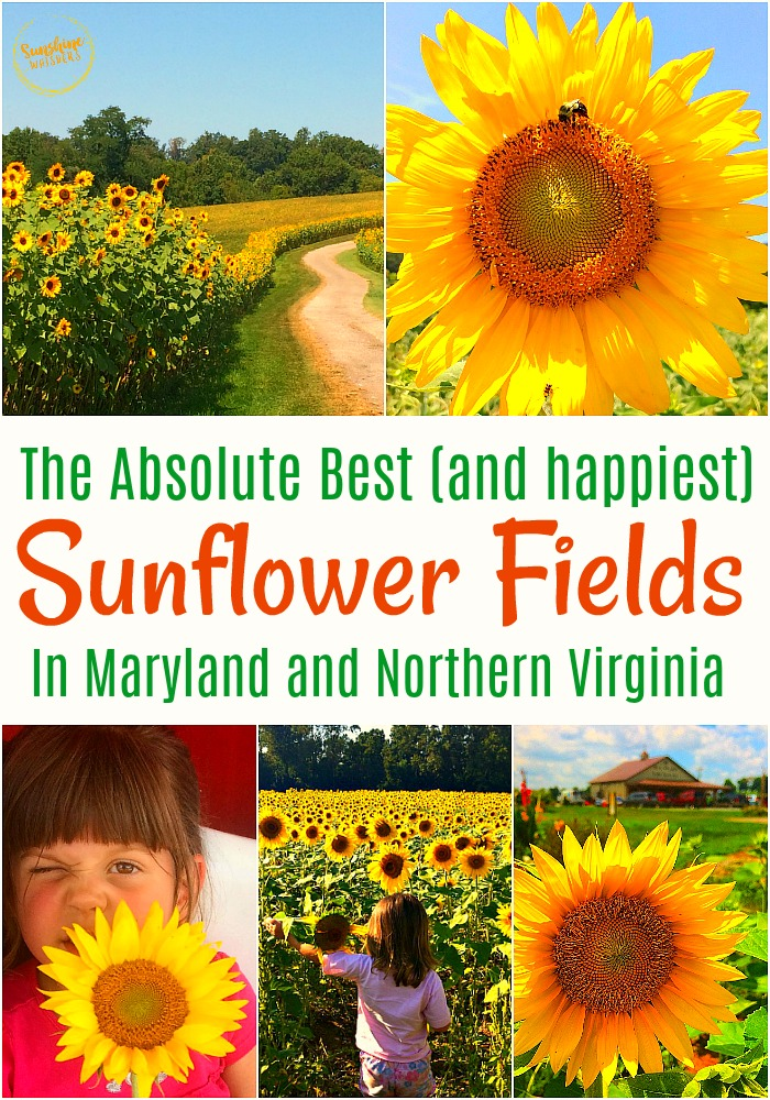 best sunflower fields in maryland