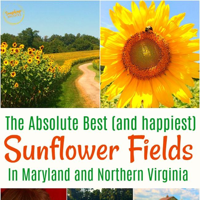best sunflower fields in maryland