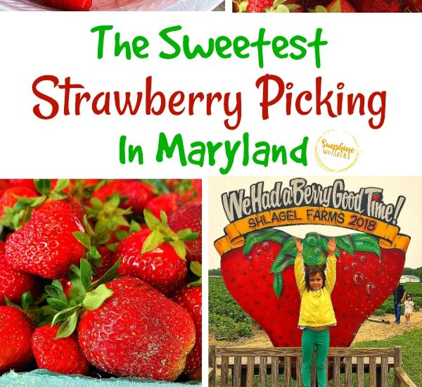 strawberry picking in maryland