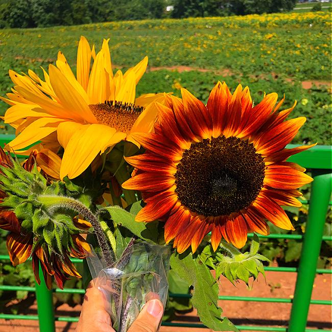 summer farm sunflowers